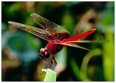 Red Dragonfly by Sherman C., via 500px