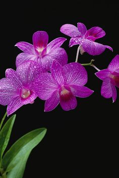 """Purple Vanda Orchids"""