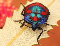 adult harlequin bug