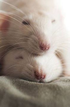 Two rats nap on top of each other