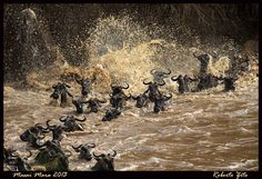 Wildebeest crossing! What an amazing view. Photo courtesy of Roberto Zito www.sunworldsafaris.com