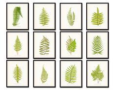 """Vintage Ferns Botanical Print Set of 12 Giclee Fine Art Prints - Unframed. This print set features 12 vintage fern illustrations in varying shades of green which have been digitally restored, enhanced and layered onto a light neutral background. • Free Shipping • Money Back Guarantee • Sizes Available: 5x7, 8x10, 11x14 • Trimmed to size for easy framing. • Sized to fit """"off the shelf"""" standard retail frames & mats. • Printed on Professional Archival Paper using Archival Inks • Frames are…"""