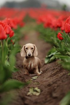 tulip time #dachshund