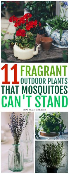 These mosquito repellent plants are great gardening hacks for your home. They're also a lot of safer than toxic sprays and can be used inside your house and outside like your backyard, porch and garden. Add these natural home tips to your spring and summer to-do list! Hot Beauty Health #mosquitorepellentplants #mosquitorepellent #gardeninghacks #naturalhometips #hotbeautyhealth