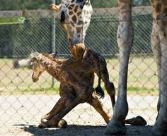 Of the nine subspecies of giraffes in Africa, the Rothschild's Giraffe is classified as Endangered, with less than 670 individuals remaining in the wild.