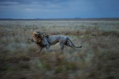"""Using remote controlled instruments and a robot tank, National Geographic photographer Michael Nichols was able to make intimate photographs of the Vumbi pride. These photos are part of National Geographic's project, """"The Serengeti Lion. National Geographic Photographers, National Geographic Photos, Carl Sagan, Primates, Mammals, Drones, Lions Photos, Wild Lion, Bud"""