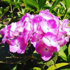 ピンクの紫陽花 #landscape