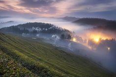 Misty Green tea field by jae youn Ryu on 500px