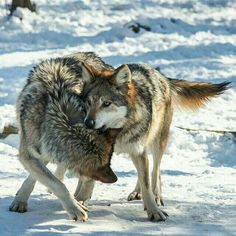 #wolf #wolves #Mexican #Olympus