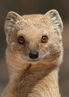 Картинки по запросу мангуст Mongoose, Wildlife, Fox, African, Animals, Earth, Animales, Animaux, Foxes