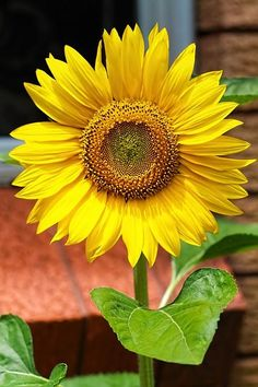 Spartz, a company of viral content sites, is seeking freelance contract writers to write captions for content on its sites. Hours are 10 to 20 per week. Growing Sunflowers, Sunflowers And Daisies, Yellow Flowers, Wild Flowers, Sunflower Garden, Sunflower Art, Sunflower Fields, Amazing Flowers, Pretty Flowers