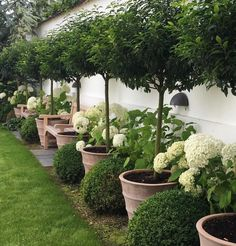 2xteak benches - Hydrangea Annabel buxus and bay in Terractta pots against the White garden Wall : by nete_hojlund