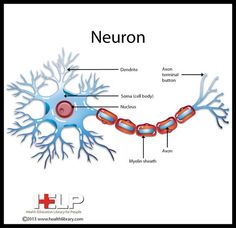 24 best neuro images on pinterest physiology activities for neuron nervous system pinterest neurons neuronsnervous system physiologyanatomynerve fandeluxe Choice Image