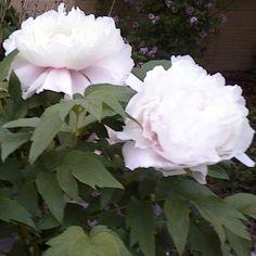 peony bush that made my wedding bouquet