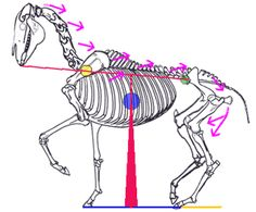 The Horse's Head and Neck in Relation to Balance