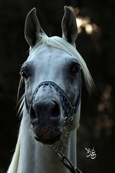 Arabian Beauty #horses