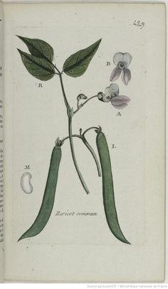 PHASEOLUS - Phaseolus vulgaris. Le haricot commun / Le haricot / La fève de haricot / Le pois de mer / Le pois blanc / Le pois de mai