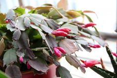 A Christmas cactus in full bloom is a sight to see. It& one of the most stunning flowering houseplants with lobed, cactus-like stems that drape over the plant and end in brilliantly-hued blooms in white,. Hanging Wall Planters, Hanging Plants, Indoor Plants, Indoor Succulents, Indoor Cactus, Cool Plants, Cactus Plants, Cactus Art, Tomato Plants