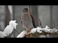 Varpushaukka Owl, Bird, Animals, Animales, Animaux, Owls, Birds, Animal, Animais