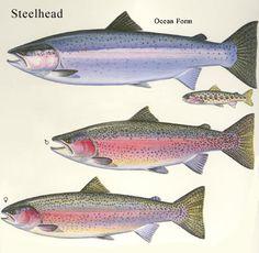 Next step in my fly fishing journey! Steelhead!