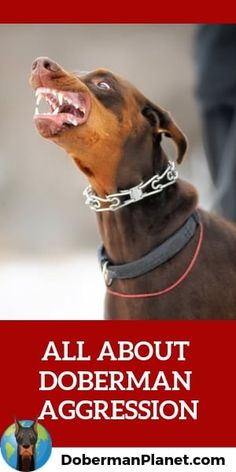 Are Doberman's mean or overly aggressive dogs? Just how dangerous are they? This article examines these things from a real-world point of view including detailed stats on dog attacks broken down by dog breed. You just might be surprised. Blue Doberman, Doberman Love, Best Family Dog Breeds, Family Dogs, Protection Dog Training, Doberman Pinscher Dog, Doberman Breeders, Doberman Training, Protective Dogs