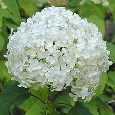 Hortensia Annabelle ( Hydrangea arborescens) met zijn witte bollen is een fantastische heester. Lange bloeitijd. Wanneer snoeien Annabelle, Strong Annabelle