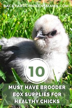 In order for your chicks to thrive, they need 10 essential brooder box supplies. A chick brooder box should contain all the essential supplies necessary for your chicks to be happy and healthy. See what 10 brooder box supplies you must have. #brooderboxsupplies #raisingbabychicks #babychickscare // brooder box supplies // raising baby chicks // baby chicks care Brooder Box, Raising Backyard Chickens, All About Animals, Baby Chicks, Baby Needs, Health And Safety, Baby Feeding, Healthy, Happy