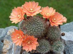 Cactus e flores