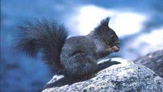 Italy - Lazio - Grey squirrel (Scoiattolo) from Regional Nature Reserve of Duchessa's Mountains