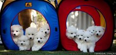 Adorable Samoyed pups