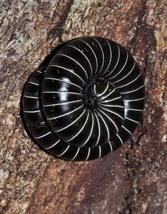 ˚Black-and-white banded millipede - Brazil  by Arthur Anker @ flickr Cool Insects, Spider Mites, A Bug's Life, Fauna, Millipedes, Natural World, Amazing Nature, Ants, Animal Kingdom
