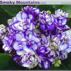 Repost optimara.violets New variety for 2016 - Smoky Mountains (US Parks series) #optimara #optimaraviolets #myviolet #newvariety #introducing #blueandwhite #africanviolet #saintpaulia #newflowers #floral #freshflowers #newflower #violets #violet #instaflower #flowerstagram #smokymountains #smokymountainnationalpark #smokymountain #blueedge #whiteandblue #whiteandpurple #flowersmakemehappy