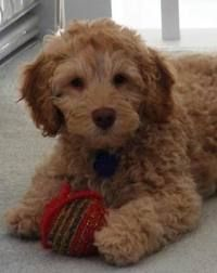 labradoodle...Our little man comes home August 15th (not his pic)