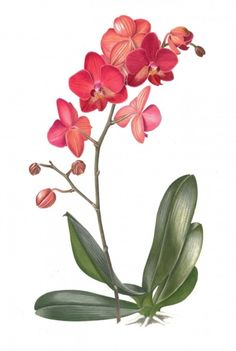 Great Flower Supply Expert Services Available Online Phalaenopsis, Rood-Paars 2014 Botanical Drawings, Botanical Flowers, Botanical Prints, Acrylic Flowers, Watercolor Flowers, Watercolor Paintings, Plant Illustration, Botanical Illustration, Art Floral