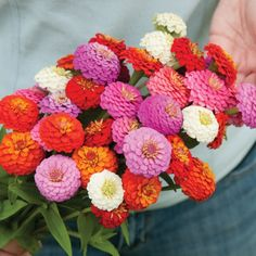 Zinnia Sunbow Mix Johnny's Selected Seeds