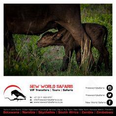 New World Safaris ------------------ VIP Transfers   Tours   Safaris ------ Follow us on Facebook facebook.com/newworldsafaris African Buffalo, Vip, Safari, Photographs, Wildlife, Tours, Facebook, Animals, Animales