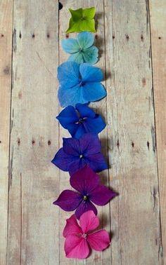 Rainbow flowers. Hortenzia