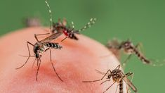 An animal-rights activist is urging people not to kill mosquitoes, but instead to let the insects bite them. Master App, Shop America, Coin Master Hack, Mosquito Control, Natural Mosquito Repellant, Father Photo, Mosquitos, Animal Protection, Insect Bites