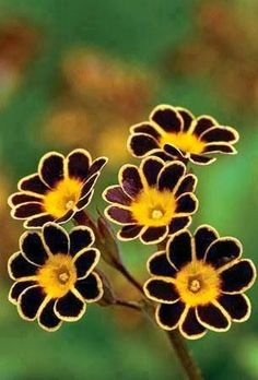 Bumblebee Primrose. Beautiful gorgeous pretty flowers