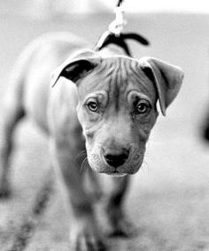 Puppy Training: 43 Tips for New Puppy Owners – It's around day two of life with a new puppy … – Sam ma Dog Training Cute Puppies, Cute Dogs, Dogs And Puppies, Dogs Pitbull, Doggies, Training Your Puppy, Training Tips, Pitbull Training, Leash Training
