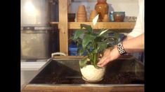 Tips for Successfully Growing a Peace Lily - Repotting a Peace Lily - Ho...