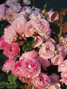 Роза Generosa Мадам де Сталь(Madame de Stael)Guillot