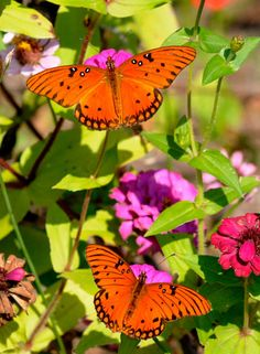 Passion-butterflies