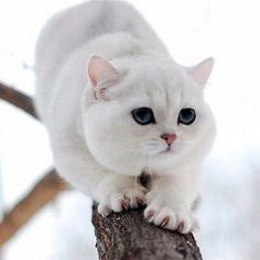 OK.RU I Love Cats, Cool Cats, Animals And Pets, Cute Animals, Himalayan Cat, White Cats, Pretty Cats, Cat Breeds, Cats And Kittens