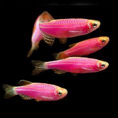 1000+ images about GloFish on Pinterest | Fish aquariums ...