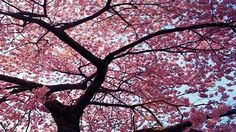 Home Marketplace CATeyes Cherry Tree Canvas Art - 26 x 32 Cherry Blossom Pictures, Cherry Blossom Art, Blossom Trees, Tree Canvas, Canvas Wall Art, Spring Tree, Cherry Tree, Recherche Google, Design