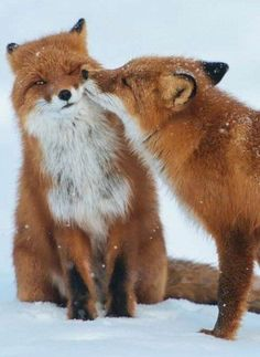 Post with 2030 votes and 88992 views. Tagged with cute, animals, beautiful, red fox; Nature Animals, Animals And Pets, Wild Animals, Cute Baby Animals, Funny Animals, Cute Animals Kissing, Cute Animals Images, Animals Photos, Fox Pictures