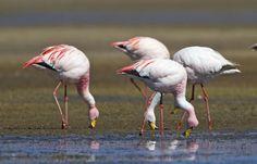Flamencos de la Puna Argentina Argentinean flamingos