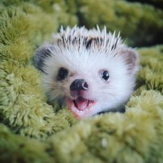 So stinking adorable cute hedgehog, pygmy hedgehog, happy hedgehog, hedgehog treats, cutest Super Cute Animals, Cute Little Animals, Cute Funny Animals, Happy Hedgehog, Cute Hedgehog, Hedgehog Treats, Cute Animal Videos, Cute Animal Pictures, Pygmy Hedgehog