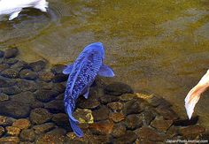 This unique blue koi can be found in the pond below Maruoka Castle in Japan.